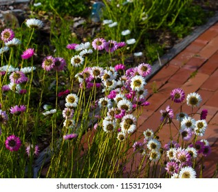 A pretty clump of decorative  Australian  pink and white  Everlastings or Paper Daisies a species in  genera Xerochrysum  family Asteraceae  growing in  a home garden  in Western Australia in spring.