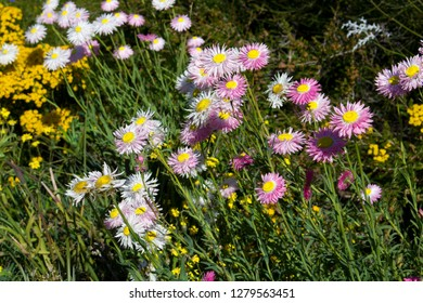 A pretty clump of decorative  Australian pink and white  Everlastings or Paper Daisies a species in a group of genera Xerochrysum  family Asteraceae will last for many months in a dry vase.
