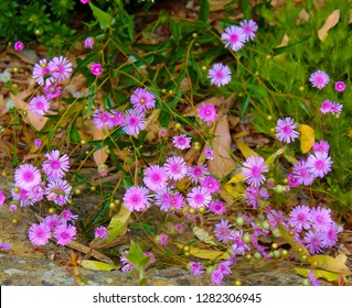 A pretty clump of decorative  Australian  pink  Everlastings or Paper Daisies a species in  genera Xerochrysum  family Asteraceae  growing in King's Park, Perth, Western Australia in spring.