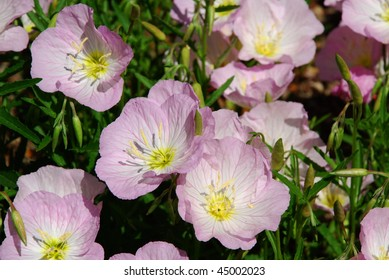 Pretty cluster of light pink spring poppies
