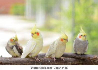 Pretty cockatiels on the branch