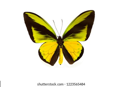 Pretty colorful butterflies,Goliath Birdwing (Ornithoptera) Isolated on white background