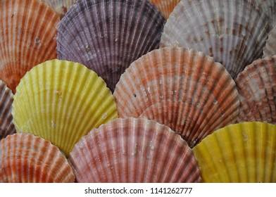 Pretty colorful scallop shells