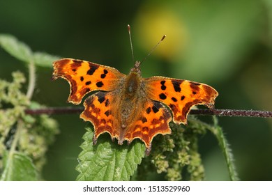 A pretty Comma Butterfly, Polygonia c-album, perched on a stinging nettle plant.