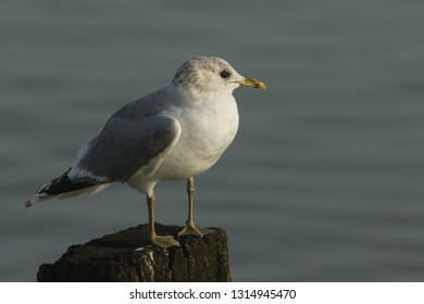 A pretty Common Gull, Larus canus, perching on a wooden post on the shoreline at high tide.