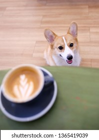pretty cute welsh corgi dog smile waiting for drinking hot cappuccino coffee at cafe and kitchen.The Corgi puppy is waiting for the owner who is drinking coffee in the morning cafe.