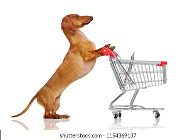 Pretty dachshund dog pushing shopping trolley against white background