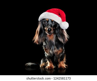 Pretty dachshund pet wearing santa hat