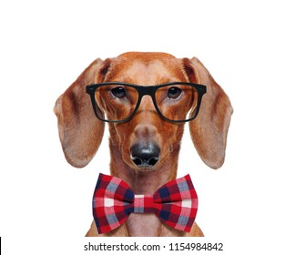 Pretty dachshund wearing glasses and a bow tie