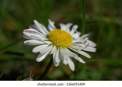 pretty daisies in the grass in the garden