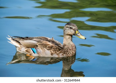pretty duck in the water green and blue mallard