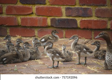 Pretty  elusive shy brown Australian wood ducklings chenonetta jubata and parents  sitting on a brick path after eating  in Big Swamp, Bunbury,Western Australia on a sunny afternoon  in  early spring.