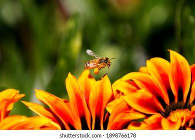 Pretty European Honeybee in Sydney