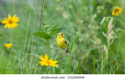 Pretty female American goldfinch (Spinus tristis) perched on prairie grass surrounded by yellow wild flowers