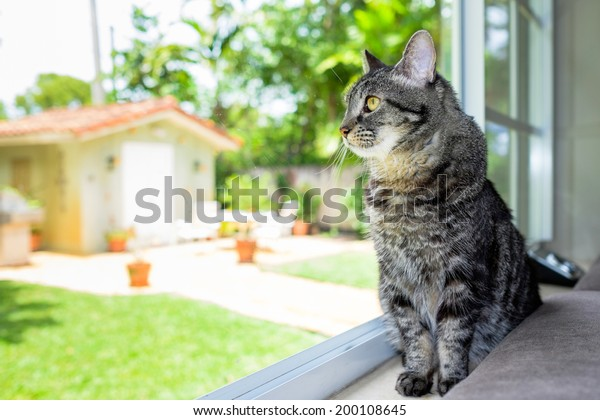 Pretty female domestic tabby cat in a home setting looking out the window.