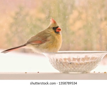 Pretty female Northern Cardinal eating birdseed.
