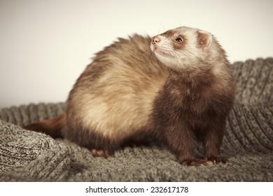 Pretty ferret