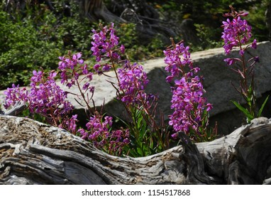 pretty fireweed wildflowers against a log and granite boulder, along the hiking trail to blue lake, in the indian peaks wilderness area, colorado