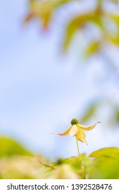 Pretty flower Kousa dogwood blooming in spring.