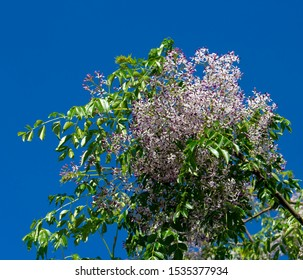 Pretty flowers of  White Cedar scientific name Melia azedarach known as Persian Lilac, Chinaberry and Umbrella tree add color and decorative interest to the Australian street scape in winter.