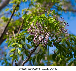 White cedar blooming images stock photos vectors shutterstock pretty flowersof white cedar scientific name melia azedarach known as persian lilac chinaberry and umbrella mightylinksfo Gallery