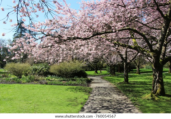 Pretty garden path with Cherry blossom trees during winter in Vancouver, British Columbia, Canada