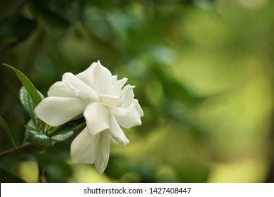 Pretty gardenia flower (Gardenia jasminoides) blooming in the green garden background , Spring in GA USA.