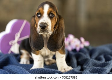 Pretty and gently Basset hound puppy, which is an old three week. A beautiful baseball hound is sitting in a knitted basket.