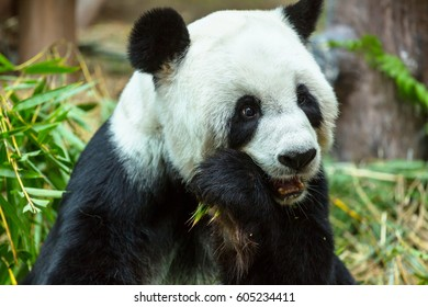 Pretty Giant Panda