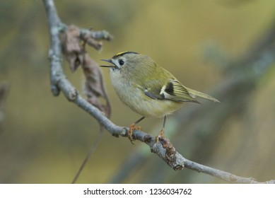 A pretty Goldcrest (Regulus regulus) perching on a branch in a tree singing.