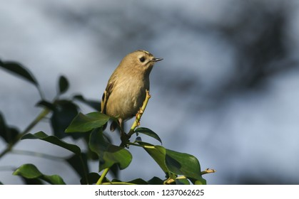 A pretty Goldcrest (Regulus regulus) perching on ivy leaves searching for insects to eat.