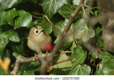 A pretty Goldcrest (Regulus regulus) perching on a branch in a tree. It is hunting for insects to eat.