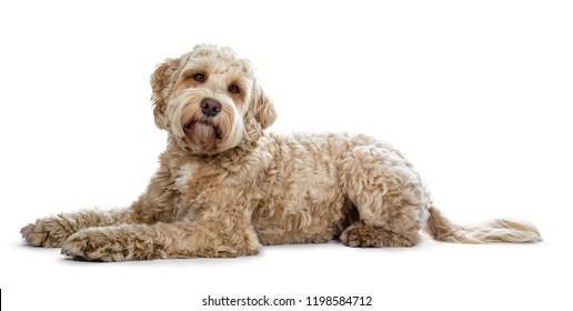 Imagenes Fotos De Stock Y Vectores Sobre Dog Laying White