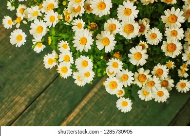 Pretty golden feverfew ,bachelor's buttons ,Matricaria (Tanacetum parthenium Aeruem) is little white daisy-like ,chamomile-like flowering plant with wooden background use as ornamental plant in garden