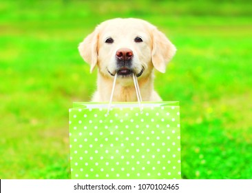 Pretty Golden Retriever dog is holding a green shopping bag in the teeth on a grass on a summer