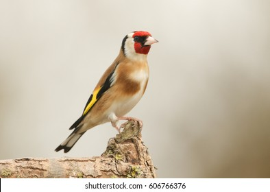 A pretty Goldfinch (Carduelis carduelis) perched on a branch.