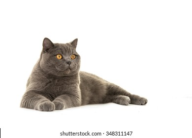 Pretty grey british short hair cat lying down looking away isolated on a white background