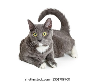 Pretty Grey cat with big green eyes, lying down on white background with tail curled up