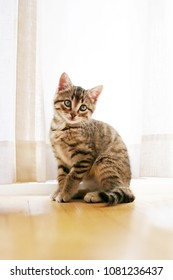 A pretty grey Domestic Short Haired Tabby Cat Kitten is sitting in front of a window posing while looking at the camera with her blue eyes.