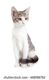Pretty grey and white color short-haired kitten sitting tall on a white studio background