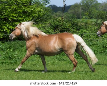 A pretty Haflinger horse canters loose through a summer paddock.
