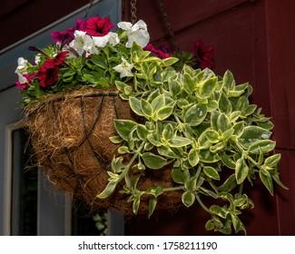 Bonita cesta colgada de petunias rojas y blancas, con vegetación en un jardín de verano.