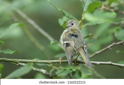 A pretty juvenile Goldcrest (Regulus regulus) perching on a branch in a tree preening its feathers.