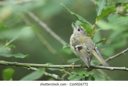 A pretty juvenile Goldcrest (Regulus regulus) perching on a branch in a tree. It is hunting for insects to eat.