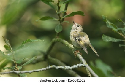 A pretty juvenile Goldcrest (Regulus regulus) perching on a branch in a tree.