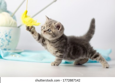pretty kitten playing with yarn ball on light background. British shorthair cat posing on blue background