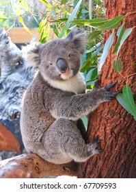 pretty koala bear