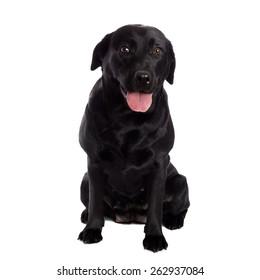 Pretty Labrador Retriever in front of white Background