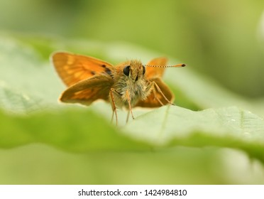 A pretty Large Skipper Butterfly, Ochlodes sylvanus, perched on a  leaf.