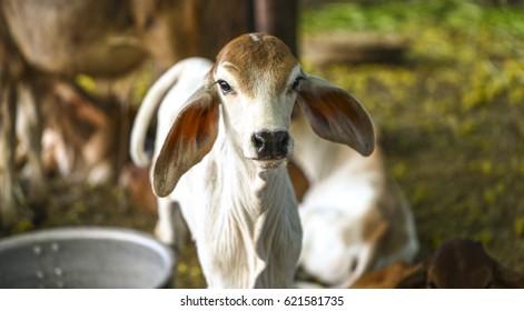 Pretty Little Baby Cow or Calf on Farmland